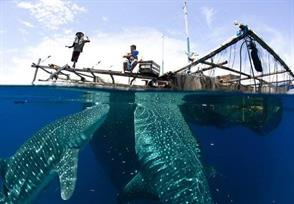 Gentle Giants of Cenderawasih Bay