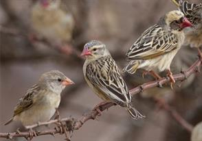 Red - Billed Queleas - Kruger National Park