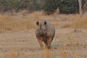 Black rhino in the North Luangwa