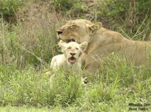 White Lions of the Timbavati