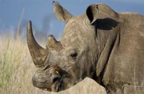 Rare rhino species at Ol Pejeta Conservancy