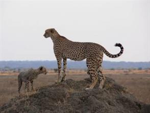 Serengeti Cheetah Research Project
