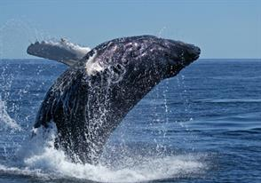Humpback Whales of Mozambique