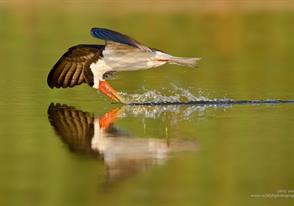African Skimmers Breeding