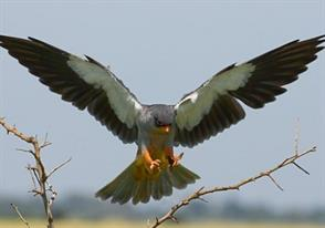 By Invitation: The Amur Falcons
