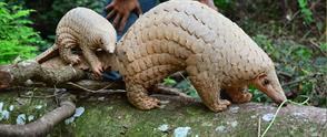 Scaling up on Pangolin Conservation